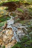 Trädet som växer på, vaggar på den punktLobos delstatsparken i Kalifornien royaltyfri fotografi