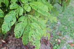 Trädet spricker ut med hål med tuggor från kryp, parasit, avmaskar, Royaltyfri Fotografi