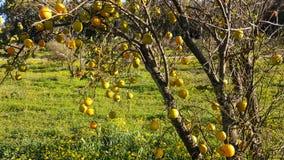 Trädet täckas med lösa clementines Arkivbild