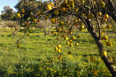Trädet täckas med lösa clementines Royaltyfria Foton