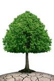 Trädet växer på torr jordning som isoleras på vit Arkivfoto
