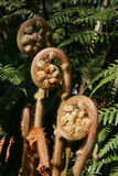 Trädfer-croziers i en australisk Rainforest Royaltyfri Bild