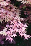 Trädfilial för japansk lönn med nedgång färgade sidor arkivfoton
