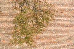 Trädfilial framme av den gamla tegelstenväggen Arkivfoton
