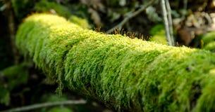 Trädfilial i mossa på skogen Royaltyfria Bilder