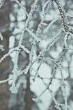 Trädfilial i rimfrostcloseup i vinter Royaltyfri Fotografi