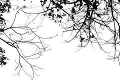 Trädfilial i svartvitt Arkivfoto