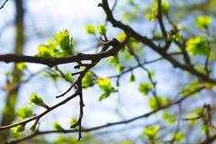 Trädfilial i vår Fotografering för Bildbyråer