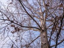 Trädfilial inget abstrakt begrepp för begrepp för säsong för vinter för blå himmel för blad Fotografering för Bildbyråer