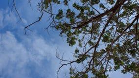 Trädfilial med blå himmel och molnet stock video