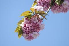 trädfilial med härliga blommor i blom arkivfoto