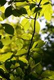 Trädfilial med sidor tillbaka i soligt dagsljus Royaltyfria Bilder