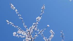 Trädfilial med små vita blommor på himmelbakgrunden arkivfilmer