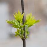 Trädfilial med unga nya gräsplansidor Royaltyfria Foton