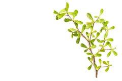 Trädfilial och gräsplanblad som isoleras på vit bakgrund Royaltyfri Foto