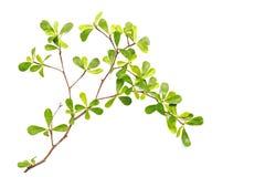 Trädfilial och gräsplanblad som isoleras på vit bakgrund Royaltyfri Fotografi