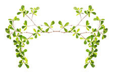 Trädfilial och gräsplanblad som isoleras på vit bakgrund Royaltyfria Bilder