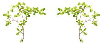 Trädfilial och gräsplanblad som isoleras på vit bakgrund Arkivbilder