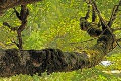 Trädfilial som täckas i mossa Arkivbilder