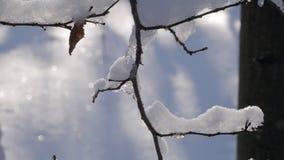 Trädfilial som täckas med det tjocka lagret av ny snö lager videofilmer