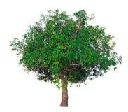 Trädfilialen Royaltyfria Bilder