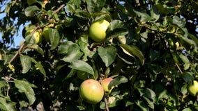Trädfilialen med äpplen fluktuerar under påverkan av vind lager videofilmer