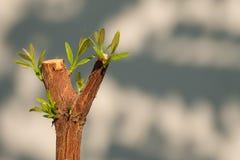 Trädfilialen med knoppen, foster- gröna tjänstledigheter skjuter abstrakt gray Arkivbilder