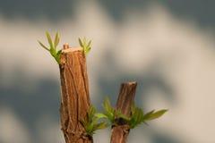 Trädfilialen med knoppen, foster- gröna tjänstledigheter skjuter abstrakt gray Royaltyfri Foto