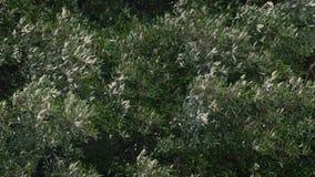 Trädfilialer i Gale Force Wind stock video
