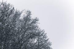 Trädfilialer i snön Snöig kronor av träd Vintern i parkerar, övervintrar i för vintersäsongen för skogen den härliga bakgrunden arkivfoto