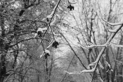 Trädfilialer med frukter royaltyfria foton