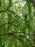 Trädfilialer med gröna sidor Arkivfoton