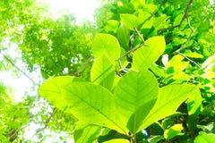 Trädfilialer och sidor är gröna Royaltyfri Bild