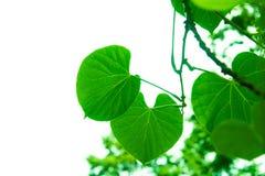Trädfilialer och sidor är gröna Arkivfoto