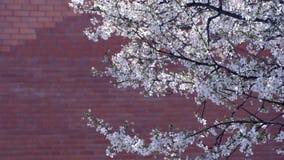 Trädfilialer som täckas med små vita blommor på bakgrund för vägg för röd tegelsten stock video