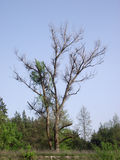 Trädfilialer utan sidor Royaltyfri Fotografi