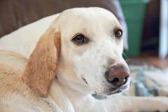Trädfotgängarehund Fotografering för Bildbyråer
