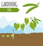 Trädgård Ärtor Växttillväxt stock illustrationer