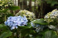 Trädgård av blåa vanliga hortensior arkivfoto
