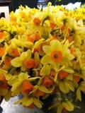 Trädgård av briljanta gula och orange påskliljor royaltyfri fotografi