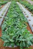 Trädgård av den kinesiska grönkålgrönsaken Royaltyfria Foton