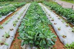 Trädgård av den kinesiska grönkålgrönsaken Fotografering för Bildbyråer