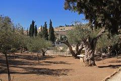 Trädgård av Gethsemane i Israel royaltyfria foton