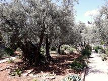 Trädgård av Gethsemane i Jerusalem, Israel arkivbild