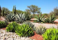 Trädgård av kakturs, agaves och suckulenter, Tula de Allende, Mexico Royaltyfri Foto
