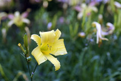 Trädgård av orange dag-liljor Royaltyfri Fotografi