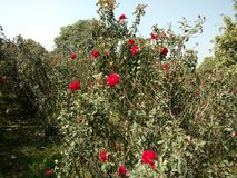 Trädgård av röda rosor royaltyfria bilder