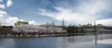 Trädgård av sakura Royaltyfria Foton