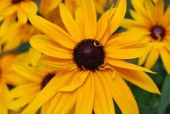 Trädgård av Svart-synade Susans i blom Royaltyfri Foto