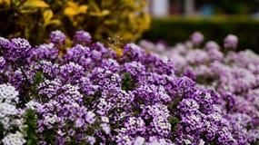 Trädgård av vita blommor som är purpurfärgade och Royaltyfria Foton